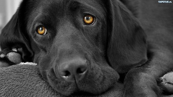 Tapeta Czarny Labrador Retriever wallpaper