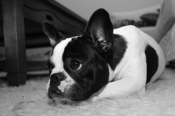 bulldog francés, French Bulldog Puppy