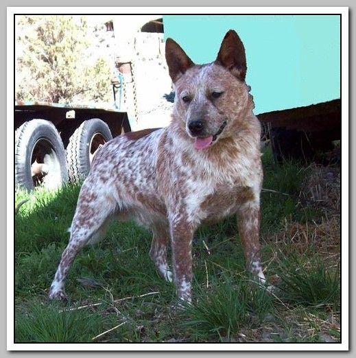 How To Raise A Happy Dog Heeler Dogs Australian Cattle Dog