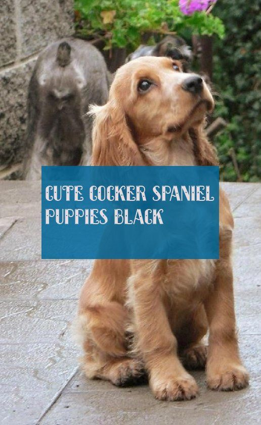 Susse Cocker Spaniel Welpen Schwarz Susse Cocker Spaniel Welpen Schwarz Cocker Schwarz Spaniel Susse With Images Spaniel Puppies Cocker Spaniel Puppies Cute Puppies