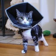 "WAGS and WOOFERS.. COMFY CONE......   ""the comfortable way for your feline to heal"""