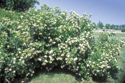 Arrowwood viburnum Picture 42