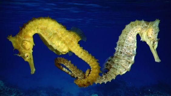 Los animales más fieles son los caballitos de mar pues desde que se aparejan y hasta que mueren, se mantienen unidos a través de su cola.