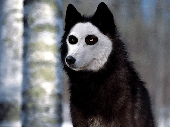 Blue heeler wolf mix german shepherd wolf mix skull breed border