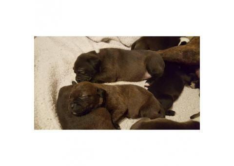 Black Lab Pitbull Mix Labrabull Puppies For Sale Black Lab Pitbull Mix Labrabull Puppies For Sale Black Lab P In 2020 Pitbull Mix Puppies For Sale Puppies Near Me