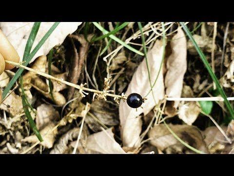병 없이 천수를 누린다는 야생 맥문동 찾아보기 Youtube 맥문동 약초 농업