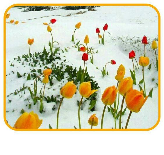 Flowers peeking through the snow