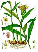 Botanische tekening gember