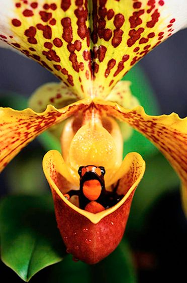 Poison dart frog and Paphiopedilum orchid