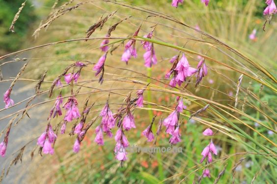 janvier-février 11 - Dierama pulcherrimum - Les jardins Amoena