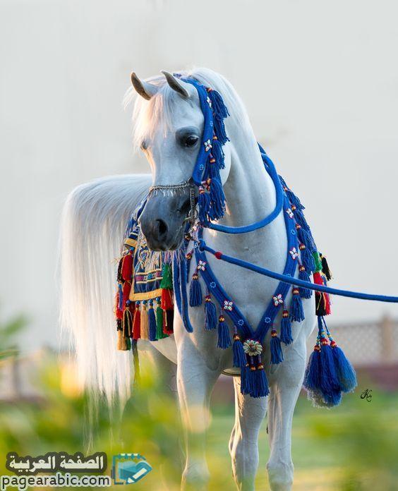 خلفيات صور خيول 2021 عربية حصان 1442 عربية اصيلة الصفحة العربية Horses Friesian Horse Arabian Horse