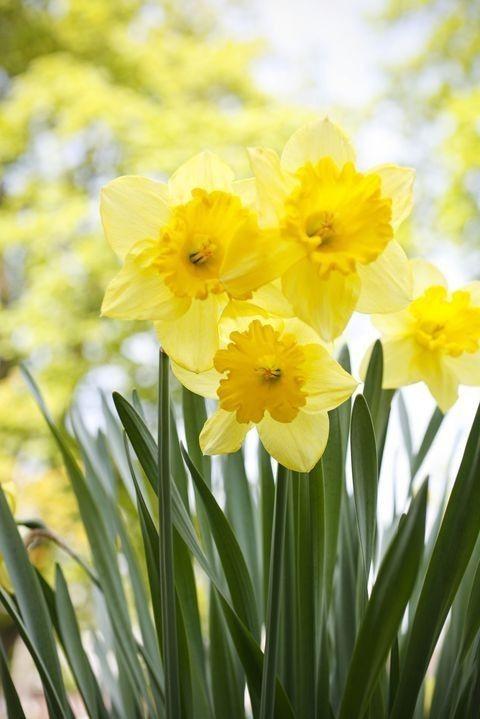 Pin By Melissa Johnson On Flowers 2 Deadly Plants Daffodil Gardening Daffodils