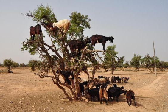 Qué hacen esas cabras arriba del árbol ?