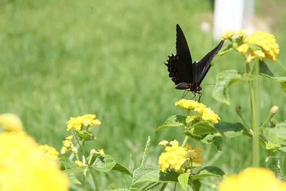 """""""Lepidoptera looking pollen"""""""