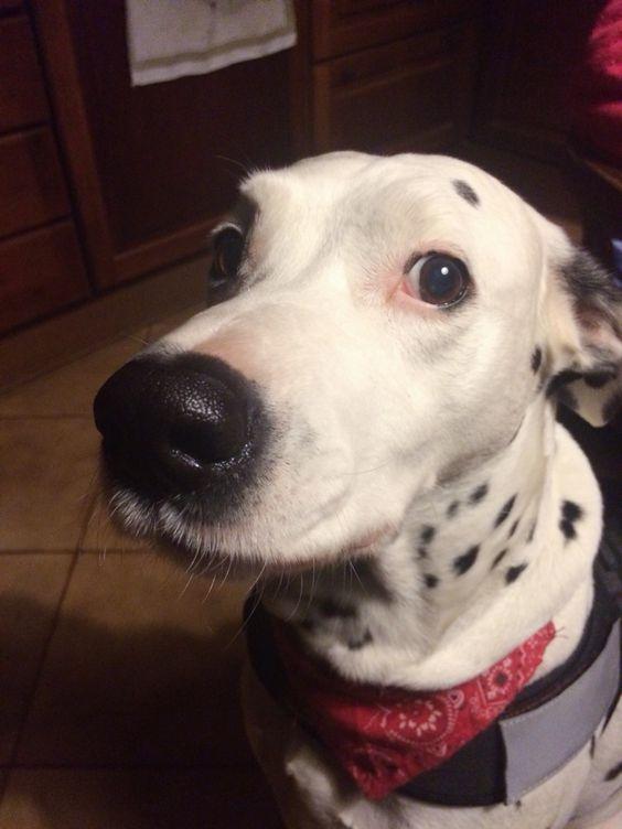 My love #haddymydog #dalmatian #dalmata #caricadei101 #love #blackandwhite