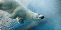 President Obama - Don't Risk an Arctic Oil Disaster That Could Kill Polar Bears and Whales