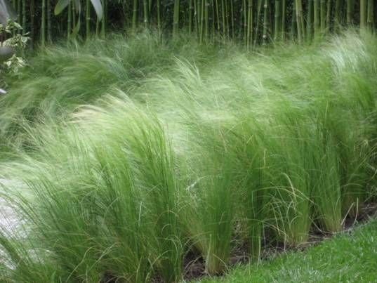 Stipa Tenuissima - The beautiful evergreen feather grasses (Stipa tenuissima) stimulate through vision; sound and feel.  They are a wonderful base to plant more structural plants through such as Alliums; Crocosmia and Agapanthus