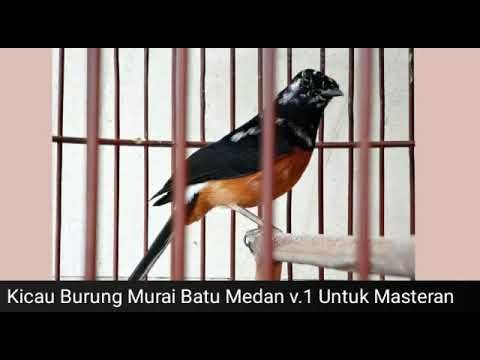 Kicau Burung Murai Batu Medan V 1 Untuk Masteran 5 Menit Langsung Ngekek Burung