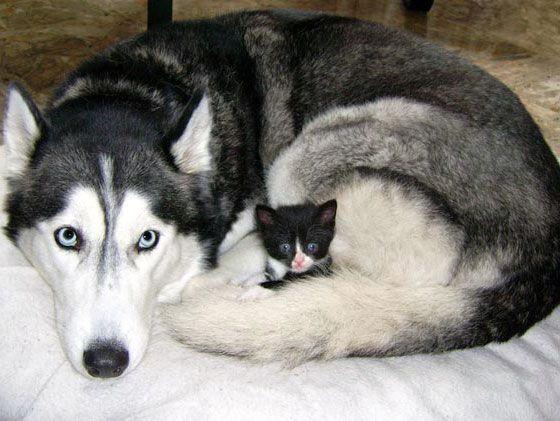 Siberian husky dog adopts rescue tuxedo kitten