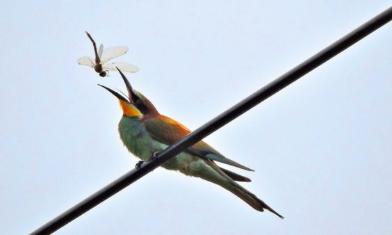Undated National Trust handout photo of a Bee-eater adult catching dragonfly at Wydcombe, Isle of Wight, as the rare birds have had their best ever breeding attempt in the UK with eight chicks fledging from two nests, conservationists said. September 2, 2014.  Two pairs of the brightly-coloured birds, which are normally found in the Mediterranean, have nested on the Isle of Wight this year. Three chicks fledged from one nest on National Trust land, in a small valley on the Wydcombe Estate…