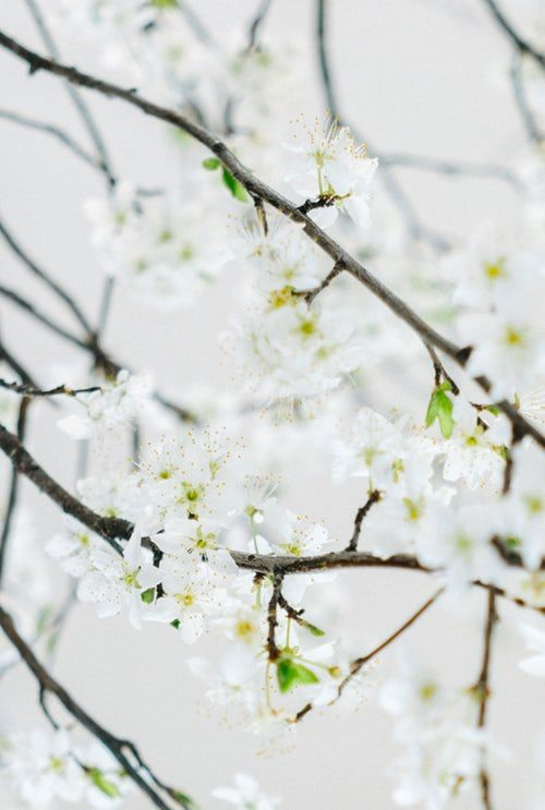 Selective Focus Photography Of White Cherry Blossoms Cherry Blossom Wallpaper Photography Wallpaper Plant Wallpaper