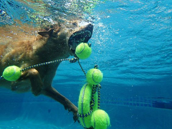 Amazing shot of Stella diving for her toy! Credit Michael Baugh/Michael's Dogs Training & Behavior, Houston, TX.