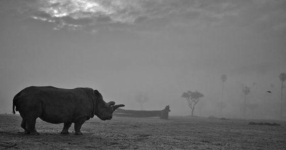 56528a3f2100004a005ab62f Uno de los últimos rinocerontes blancos del norte ha muerto, y con su muerte el número de ejemplares vivos de su especie se reduce a unos tristes 3.