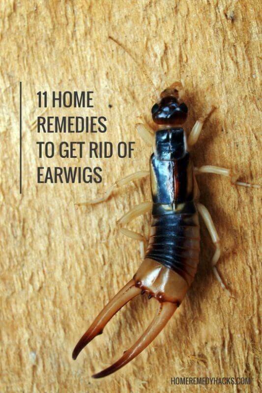 Phenomenal 11 Natural Home Remedies To Get Rid Of Earwigs To Try Download Free Architecture Designs Rallybritishbridgeorg