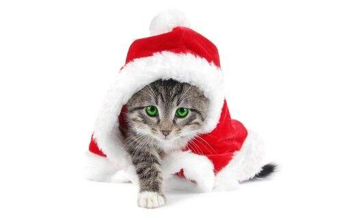 Cute Christmas cat.