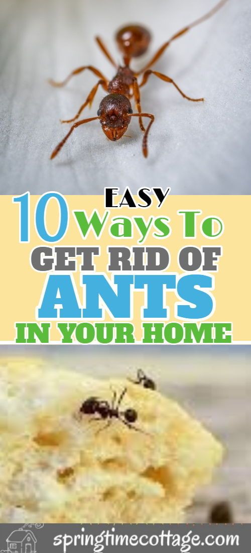 10 Ways To Get Rid Of Ants Naturally Get Rid Of Ants Rid Of Ants Ants In House