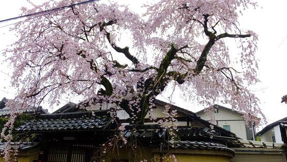 雨中 桜花 - 京都で定年後生活