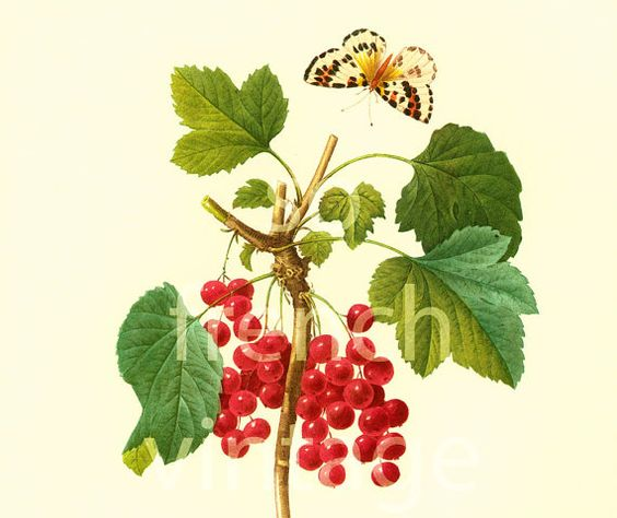 This print is taken from a french book published in 1983. Pierre- Joseph Redoute (1759 - 1840) was a French painter and botanist known for his watercolors of flowers and fr... #illustration