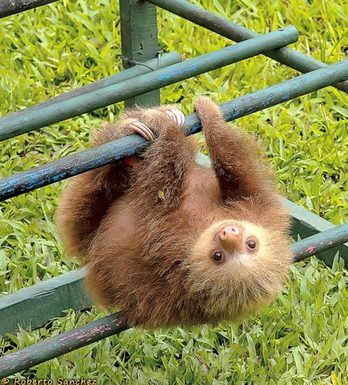 baby sloth. makes me want one for a pet :)