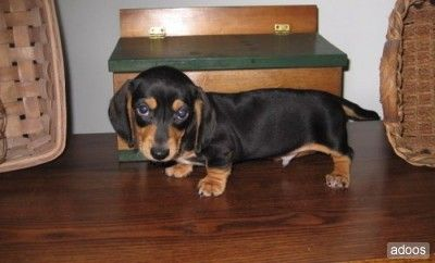 miniature dachshund (ohhhhh so cute!)