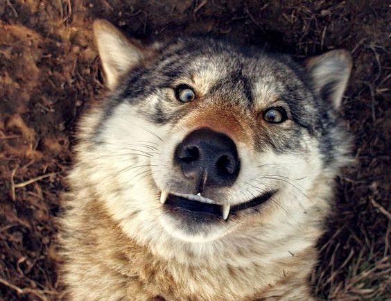 White Wolf : 14 Funny Wolf Pictures That Will Put A Smile On Your Face
