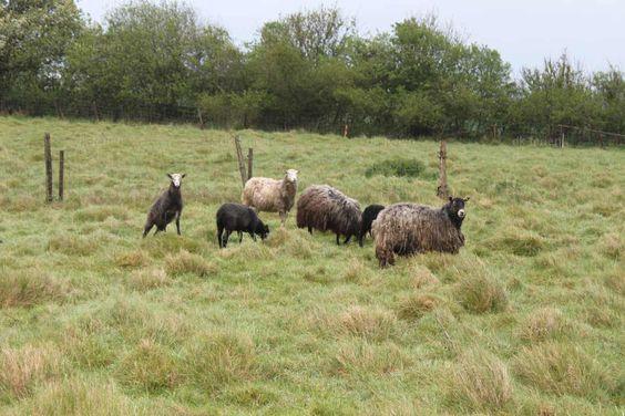 Hobbystrickerinnen schätzen die Wolle der dänischen Schafe ganz besonders