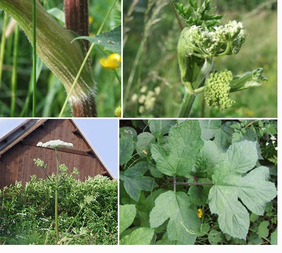 La berce cuisine campagne plantes sauvages de nos - Cuisine plantes sauvages ...