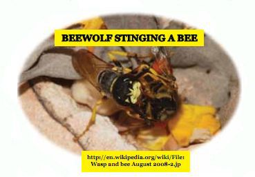 The Beewolf...this is a Wasp that uses bees for its babies to eat.
