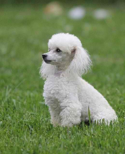 Toy Poodles were originated in Germany as a water retriever.The poodle cut was designed to protect the dogs from cold water yet allowing the dogs to move through water faster. Toy poodles must be under 10 inches and miniatures over 10 but under 15 inches.
