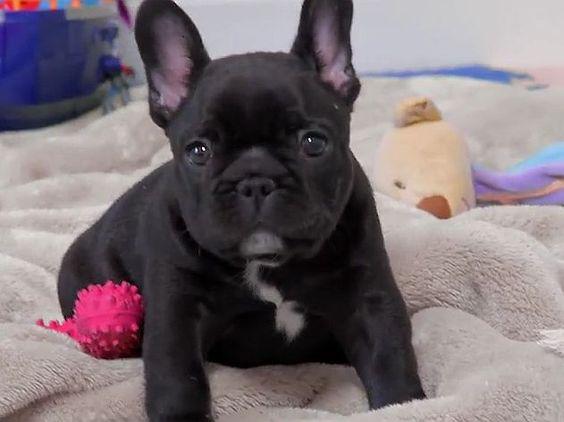 Französische Bulldogge: Süßes kleines Videoportrait