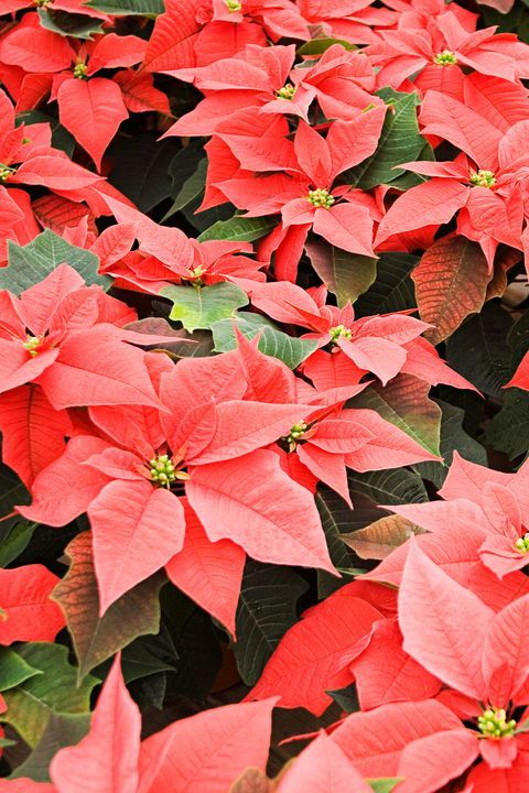 10 Best Christmas Plants And Flowers Plus How To Make Them Thrive Til Santa Arrives Christmas Plants Red Plants Flower Pot Design