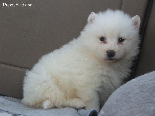 Samoyed Pictures (puppy)