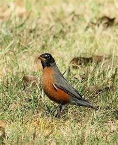 Robin - always a sign that spring is here!: Flowers Birds, Backyard Birds, Bird Houses,  American Robin