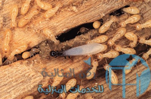 What Do Termites Look Like Top 10 Pictures Of Termites Termites
