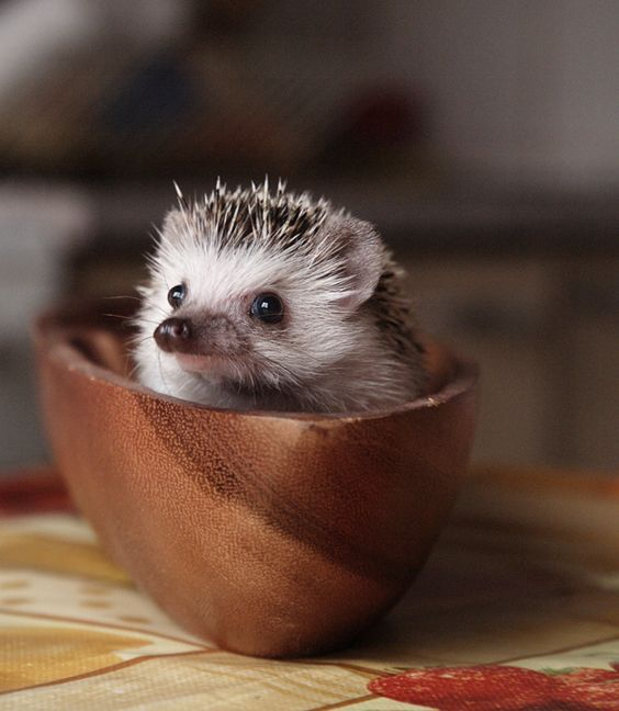 hedgehog in a wooden bowl