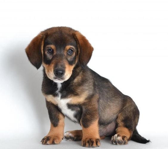 34 Unreal Dachshund Cross Breeds You Have To See To Believe Dachshund Cross Dachshund Puppies Funny Dachshund