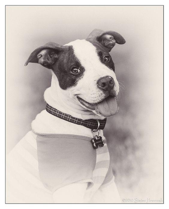 Pitbull Pup #dog