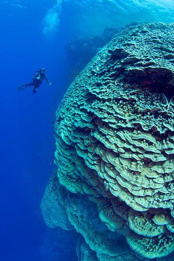 Diver near a large pristine lettuce coral head at Daedalus Reef marine preserve