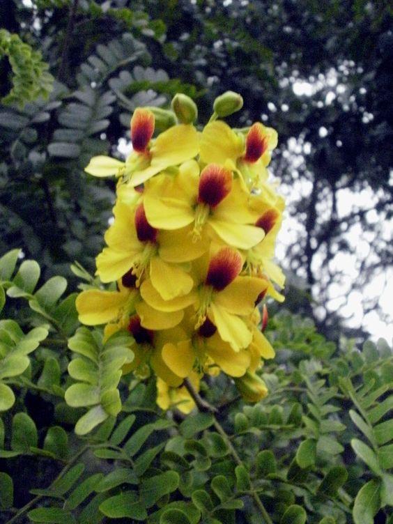 Flor do Pau-Brasil