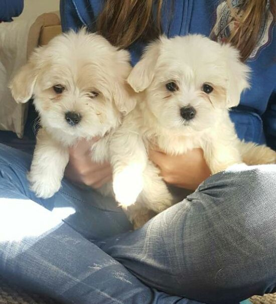 Maltese Puppies For Sale In Kuwait Maltese Puppy Maltese